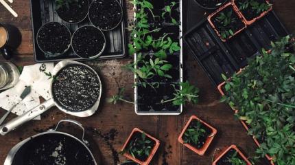 Як виростити здорову і міцну розсаду