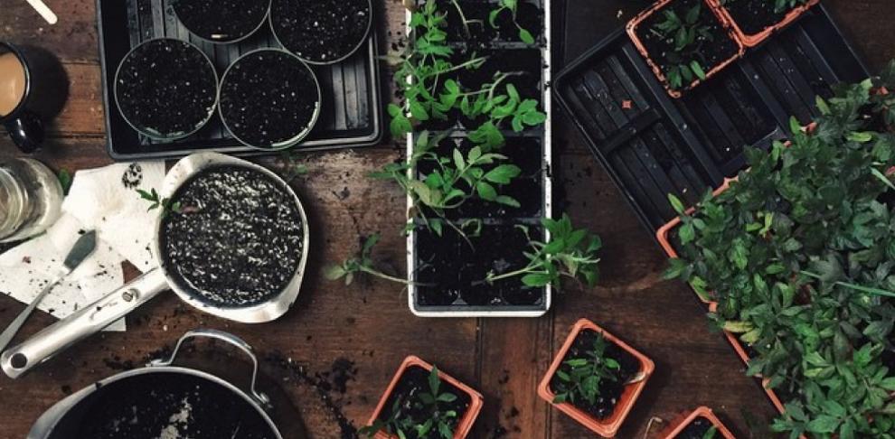 Як виростити здорову і міцну розсаду>